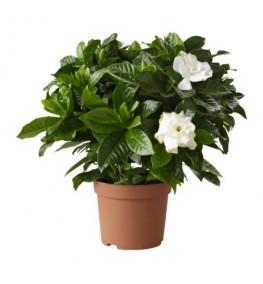 Gardenia 15